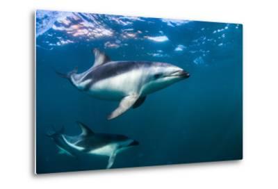 Dusky Dolphins Swim in Golfo Nuevo Off the Coast of Valdes Peninsula in Argentine Patagonia-Luis Lamar-Metal Print