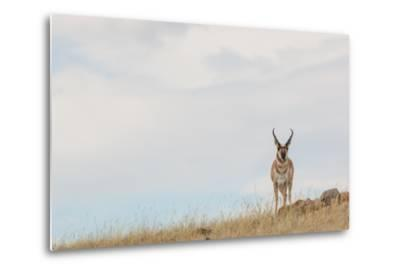A Pronghorn Antelope Stands on a Grassy Hill Looking at the Camera-Tom Murphy-Metal Print