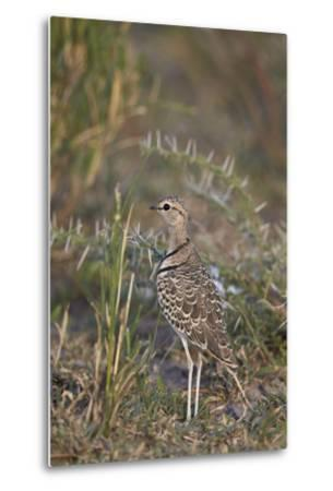 Two-Banded Courser (Double-Banded Courser) (Rhinoptilus Africanus)-James Hager-Metal Print