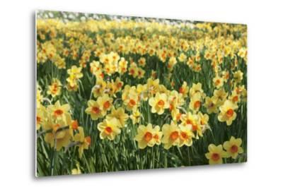 Field of Narcissi, Mainau Island in Spring, Lake Constance, Baden-Wurttemberg, Germany, Europe-Markus Lange-Metal Print