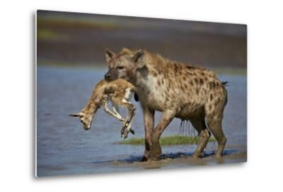 Spotted Hyena (Spotted Hyaena) (Crocuta Crocuta) with a Baby Thomson's Gazelle (Gazella Thomsonii)-James Hager-Metal Print