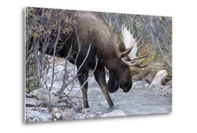 A Bull Moose, Alces Alces, Prepares to Drink from a Stream in Denali National Park-Barrett Hedges-Metal Print