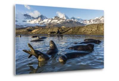 Southern Elephant Seal Pups (Mirounga Leonina), in Melt Water Pond, St. Andrews Bay, South Georgia-Michael Nolan-Metal Print