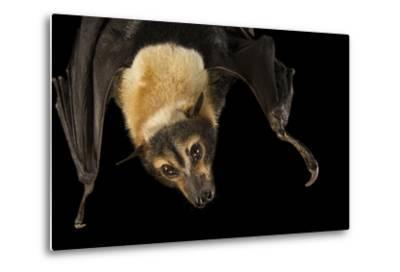 A Female Spectacled Flying Fox, Pteropus Conspicillatus, at the Lubee Bat Conservancy-Joel Sartore-Metal Print