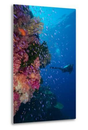 Colourful Reef Fish (Orange and Purple Anthias Sp.) Plus with Hard and Soft Corals on Reef Wall-Louise Murray-Metal Print
