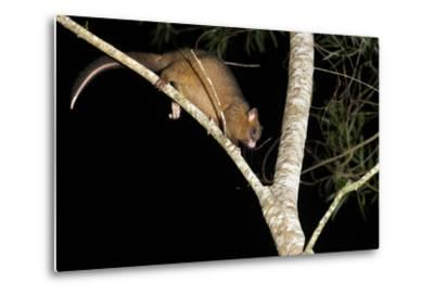 Coppery Brushtail Possum (Trichosurus Vulpecula Johnstonii)-Louise Murray-Metal Print