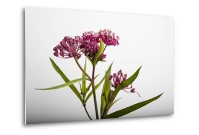 A Swamp Milkweed Flower, Asclepias Incarnata-Joel Sartore-Metal Print