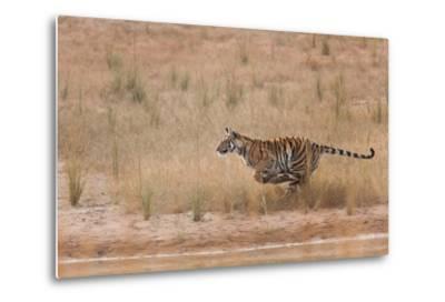 A Year-Old Bengal Tiger, Panthera Tigris Tigris, Running Along the Water's Edge-Jak Wonderly-Metal Print