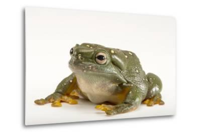 A Magnificent Tree Frog, Litoria Splendida, at the Wild Life Sydney Zoo-Joel Sartore-Metal Print