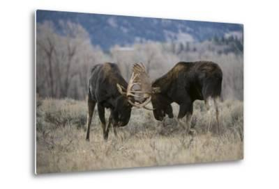 A Pair of Bull Moose, Alces Alces, Lock Antlers in the Sage Brush of Grand Teton National Park-Barrett Hedges-Metal Print