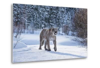 Mountain Lion (Puma) (Cougar) (Puma Concolor), Montana, United States of America, North America-Janette Hil-Metal Print