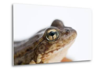 An Endangered Southern Mountain Yellow-Legged Frog, Rana Muscosa-Joel Sartore-Metal Print