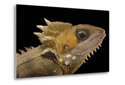 Boyd's Forest Dragon, Hypsilurus Boydii, at the Wild Life Sydney Zoo-Joel Sartore-Metal Print
