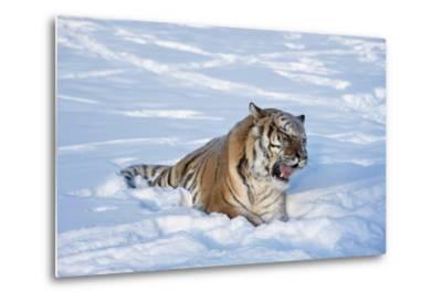 Siberian Tiger (Panthera Tigris Altaica), Montana, United States of America, North America-Janette Hil-Metal Print