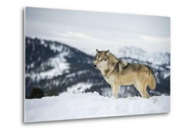 Grey Wolf (Timber Wolf) (Canis Lupis), Montana, United States of America, North America-Janette Hil-Metal Print