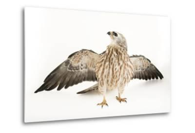 A Mississippi Kite, Ictinia Mississippiensis, at St. Francis Wildlife Association-Joel Sartore-Metal Print