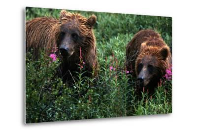 Grizzly Bears, Ursus Arctos-Cagan Sekercioglu-Metal Print