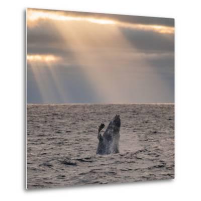 A Humpback Whale, Megaptera Novaeangliae, Breaching under Rays of Sunlight-Jak Wonderly-Metal Print
