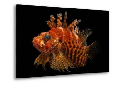 A Fuzzy Dwarf Lionfish, Dendrochirus Brachypterus, at Omaha's Henry Doorly Zoo and Aquarium-Joel Sartore-Metal Print
