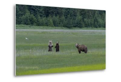 A Family of Grizzly Bears, Ursus Arctos Horribilis, are Alert to Another Bear-Barrett Hedges-Metal Print