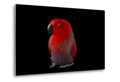 A Female Northern Eclectus Parrot, Eclectus Roratus Vosmaeri, at the Palm Beach Zoo-Joel Sartore-Metal Print