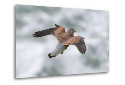 An Eurasian Kestrel, Falco Tinnunculus, Hovering While Hunting Rodents on Coastal Cliffs-Bertie Gregory-Metal Print