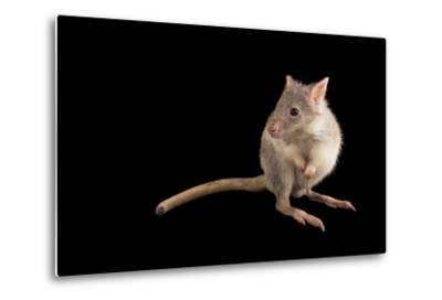A Rufous Rat-Kangaroo, Aepyprymnus Rufescens, at the Wild Life Sydney Zoo-Joel Sartore-Metal Print