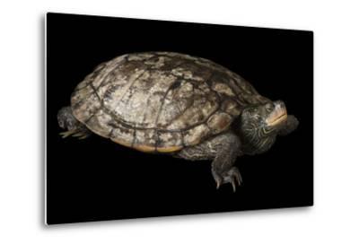 A False Map Turtle, Graptemys Pseudogeographica-Joel Sartore-Metal Print
