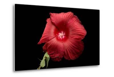 A Hibiscus Flower, Malvoideae Hibisceae-Joel Sartore-Metal Print