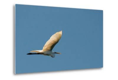 The Eastern Great Egret Flying across a Blue Sky-Michael Melford-Metal Print