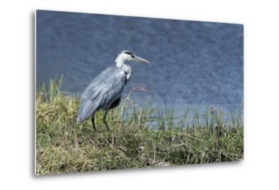 Grey Heron (Ardea Cinerea), Khwai Concession, Okavango Delta, Botswana, Africa-Sergio Pitamitz-Metal Print