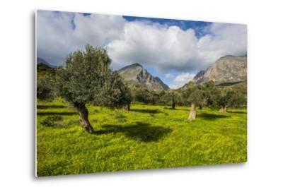 Blooming Field with Olive Trees, Crete, Greek Islands, Greece, Europe-Michael Runkel-Metal Print