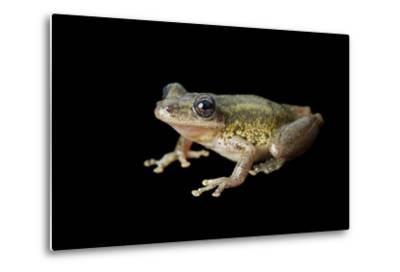 A Red Snouted Treefrog, Scinax Ruber-Joel Sartore-Metal Print