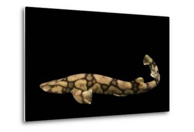 A Chain Catshark, Scyliorhinus Retifer, at Omaha's Henry Doorly Zoo and Aquarium-Joel Sartore-Metal Print
