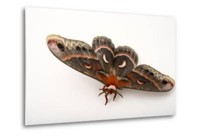 A Cecropia Moth, Hyalophora Cecropia, at the Minnesota Zoo-Joel Sartore-Metal Print