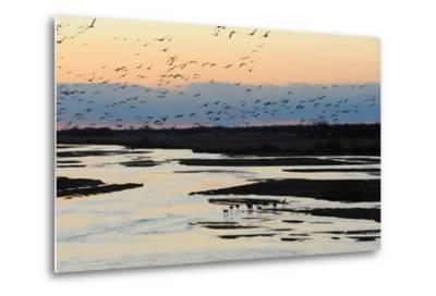 Sandhill Cranes Fly in Migration over White Tailed Deer-Michael Forsberg-Metal Print
