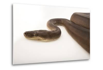 An Olive Python, Liasis Olivaceous, at the Wild Life Sydney Zoo-Joel Sartore-Metal Print