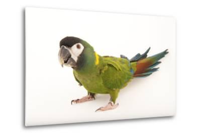 A Yellow-Collared Macaw, Ara Auricollis, at Omaha's Henry Doorly Zoo and Aquarium-Joel Sartore-Metal Print