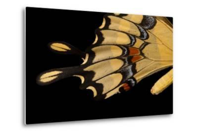 The Wing of a Giant Swallowtail Butterfly, Papilio Cresphontes, at the Lincoln Children's Zoo-Joel Sartore-Metal Print