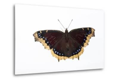 A Mourning Cloak Butterfly, Nymphalis Antiopa, at the Minnesota Zoo-Joel Sartore-Metal Print