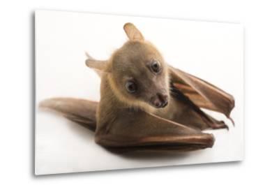 A Lesser Short-Nosed Fruit Bat, Cynopterus Brachyotis, at the Lubee Bat Conservancy-Joel Sartore-Metal Print