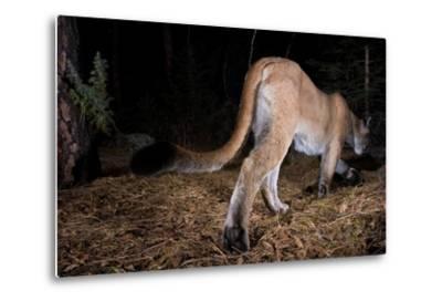 A Cougar Walks Away from a Camera Trap-Michael Forsberg-Metal Print