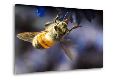 Honeybee on Russian Sage Flower-Keith Ladzinski-Metal Print