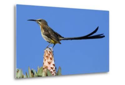 A Cape Sugarbird Perches on a Protea Plant in Cederberg Wilderness Area, South Africa-Keith Ladzinski-Metal Print