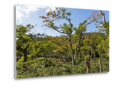 Typical Flowering Shade Tree Arabica Coffee Plantation in Highlands En Route to Jinotega-Rob Francis-Metal Print