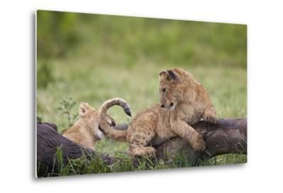 Lion (Panthera Leo) Cubs Playing, Ngorongoro Crater, Tanzania, East Africa, Africa-James Hager-Metal Print