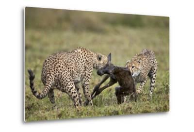 Two Male Cheetah (Acinonyx Jubatus) Killing a New Born Blue Wildebeest (Brindled Gnu) Calf-James Hager-Metal Print