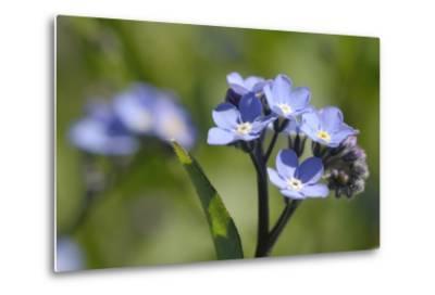 Wood Forget-Me-Not (Myosotis Sylvatica) Flowers, Cornwall, England, United Kingdom-Nick Upton-Metal Print