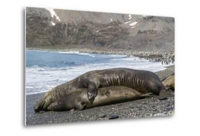 Southern Elephant Seals (Mirounga Leonina) Mating, St. Andrews Bay, South Georgia, Polar Regions-Michael Nolan-Metal Print