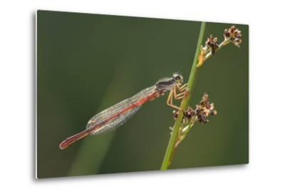 Male Small Red Damselfly (Ceriagrion Tenellum) Infested with Mites Perched on a Sedge Stem-Nick Upton-Metal Print